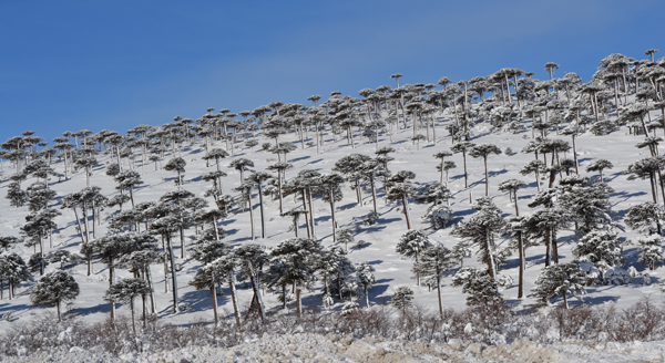 Bosque de araucarias milenarias