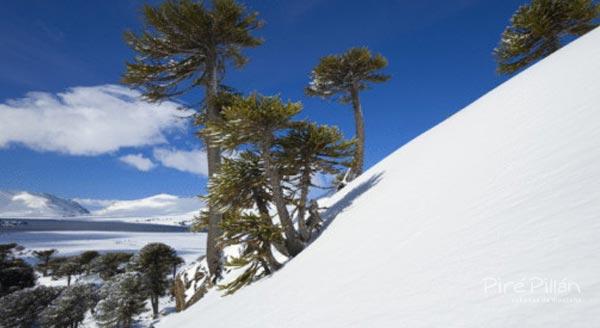 Araucarias en la pista de esquí